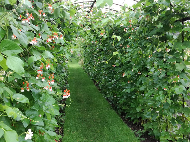 Potager, angielski ogród warzywny, tunel z fasoli