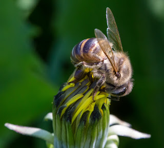 Woodbridge Island Bee. With Canon EF 100mm f/2.8 USM Macro Lens  (Photo: Vernon Chalmers)