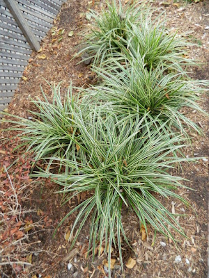 Carex morrowii  'Ice Dance' Japanese Sedge by garden muses-not another Toronto gardening blog