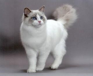 Kusukahewan Kucing Ras Ragdoll
