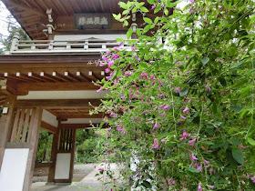 浄智寺のハギ