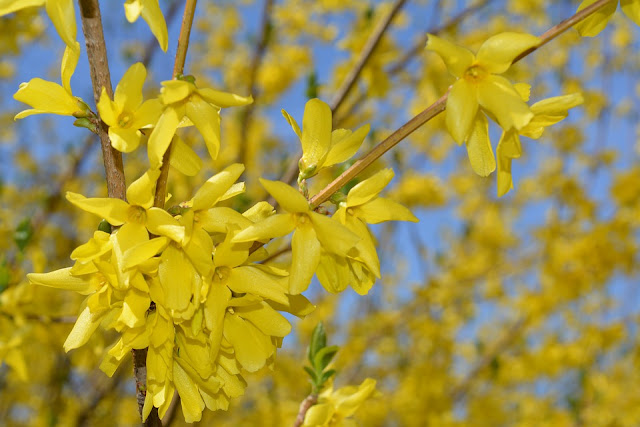 life between the flowers-Prune Forsythia straight after flowering