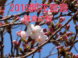 鎌倉の桜開花