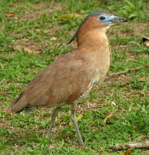 Malayan night heron - Gorsachius melanolophus