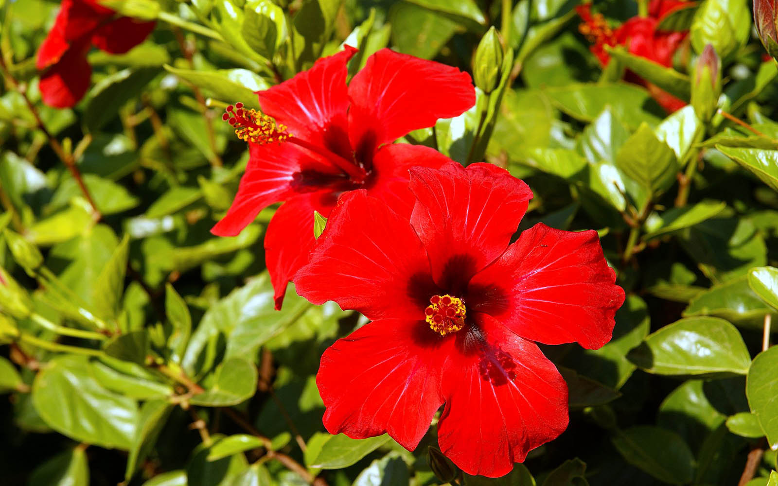 Wallpapers hibiscus flowers wallpapers for Ibisco rosso