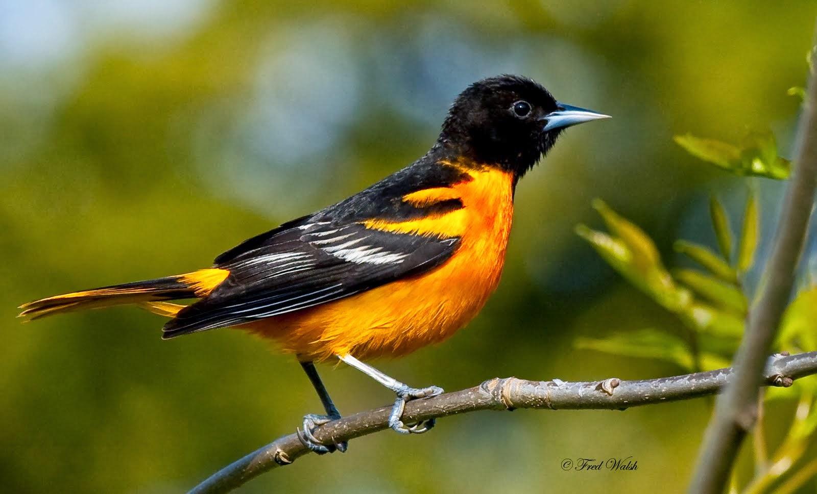 Baltimore Oriole Yellow Bird