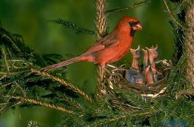 cara merawat burung,Tips Memilih Jenis Kenari Yang Bagus Untuk Lomba,