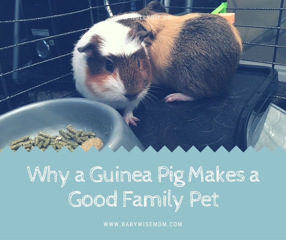 Why a Guinea Pig Makes a Good Family Pet