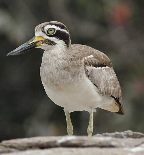 Birds of India - Photo of Great thick-knee - Esacus recurvirostris
