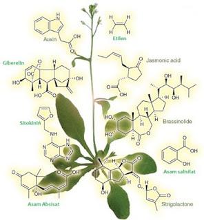 Macam-macam dan Fungsi Hormon Pertumbuhan pada Tumbuhan