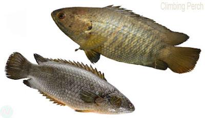 Climbing perch fish, কৈ মাছ