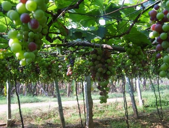 kebun anggur di indonesia indah
