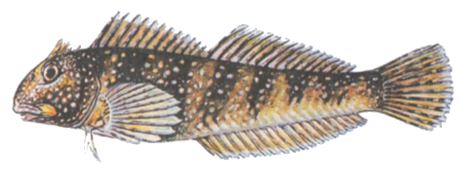 Морская собачка