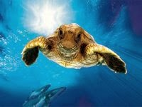 Тихоокеанская кожистая черепаха - самая крупная рептилия