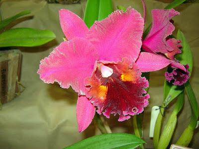 Orquídea Rhyncholaeliocattleya Chia Lin