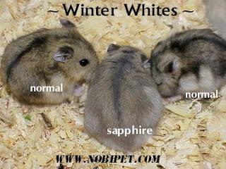 cach-phan-biet-chuot-hamster-winter-white-ww-va-campell-chuyen-nghiep-7