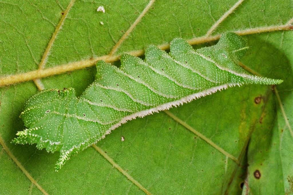 green caterpillar on a green leaf