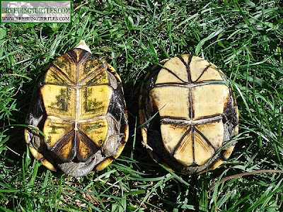 Kinosternon flavescens, plastrón