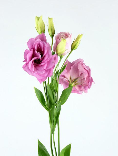hoa cát tường đẹp nhất 3
