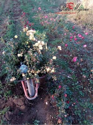 Vađenje ruža iz zemlje