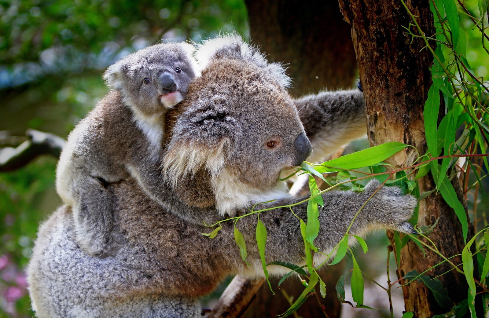 Baby koala rides on his mother's back.