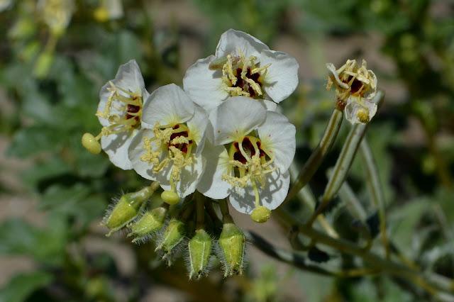 brown-eyed evening primrose