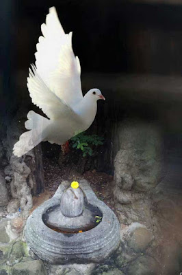 Speckle-Necked Pigeon in Hinduism