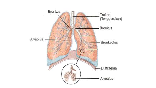 Bagian bagian paru paru dan fungsinya