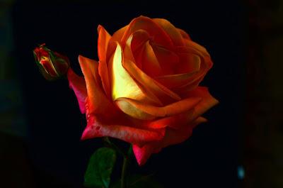 Rose, Roza, hoa hồng, Roses, faqekuq, ruže, roser, roses, roosid, ruusut, Rožės, rōhi, рози, rozen, róże, rosas, Розы, Ro, Rosas, růže, Güller, троянди, rózsák, バラ, τριαντάφυλλα, Руже,