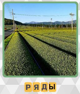 ровными рядами посажены зеленые насаждения