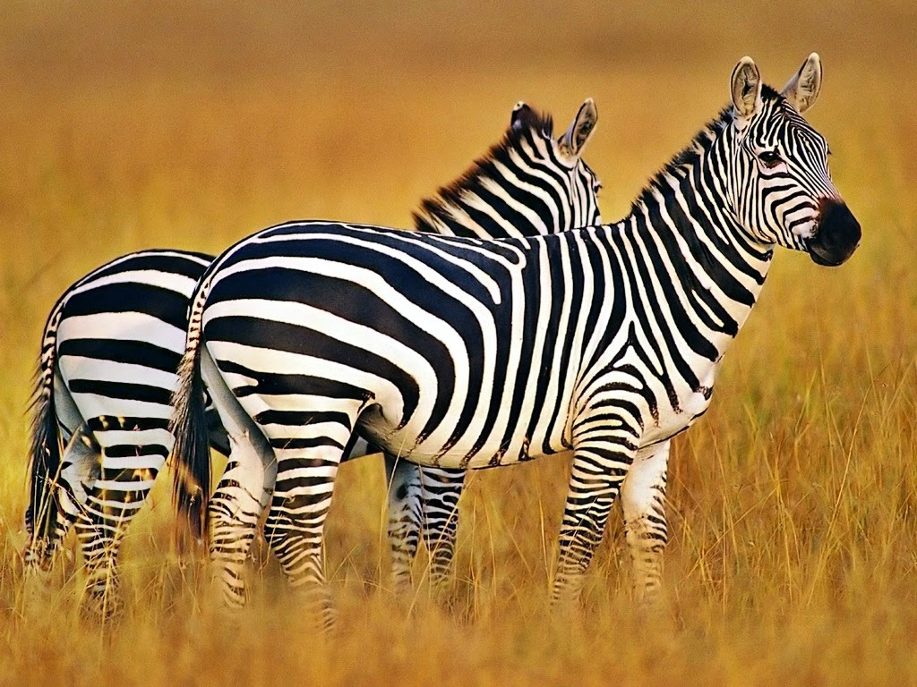 gambar zebra nama hewan dari huruf Z
