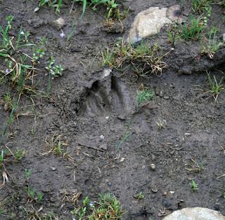 Evidence of wild boar