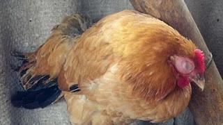 Cách khắc phục gà 4 tháng tuổi bị sốt, ủ rủ, đi ngoài phân trắng, xanh.