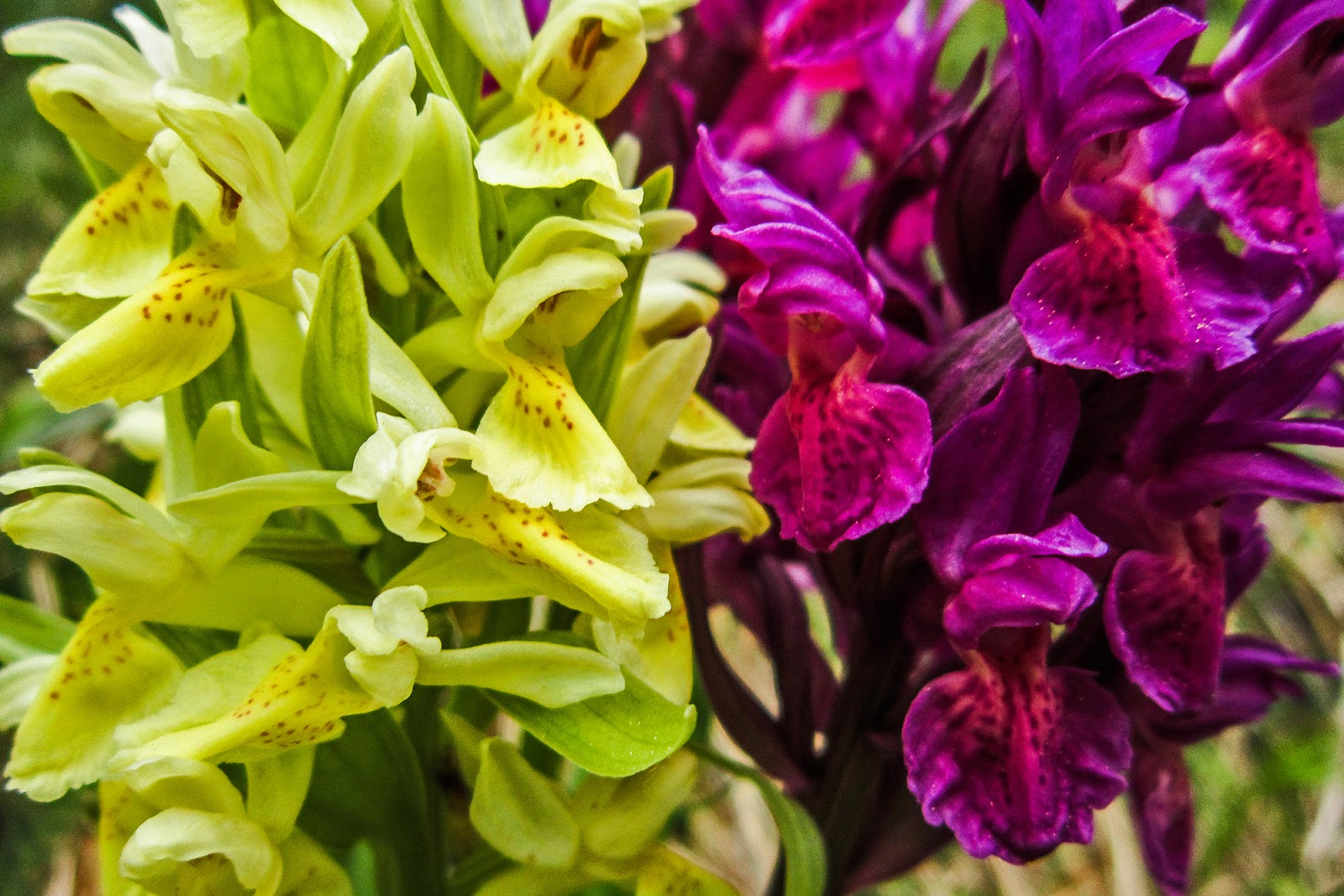 Fiori Che Amano Il Sole 4 passi in val di sole: orchidee spontanee in val di sole