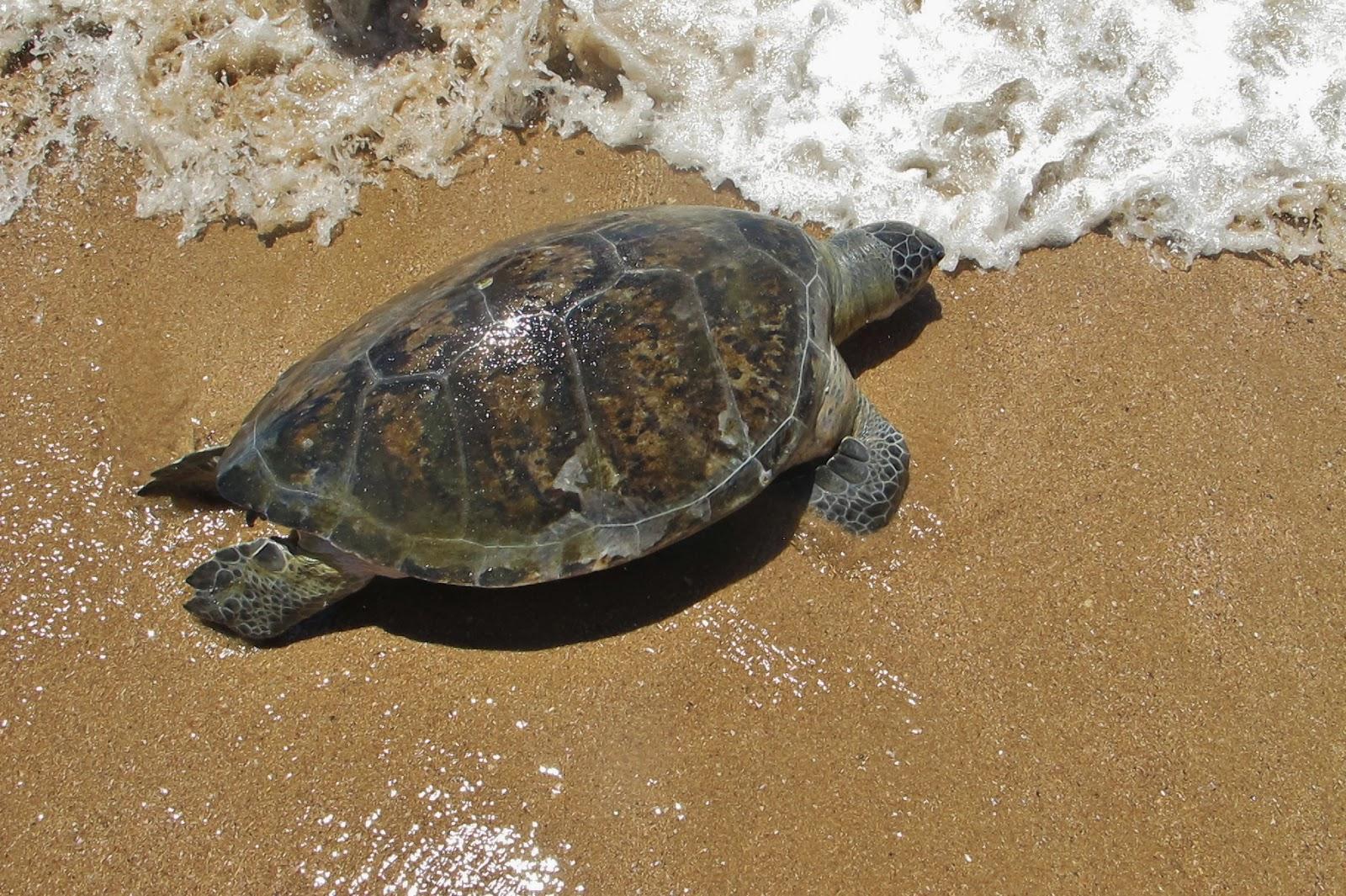 Tartaruga na Praia Vermelha, em Penha, no litoral catarinense.