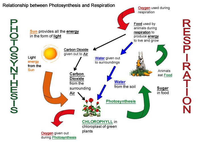 Aerobic respiration diagram of air auto electrical wiring diagram photosynthesis and cellular respiration rh elscieblog blogspot com aerobic respiration stages diagram the coupled stages of cellular respiration diagram ccuart Choice Image