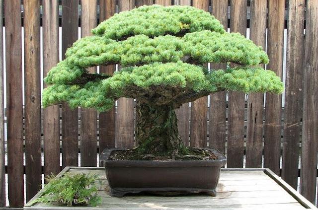 400 godina stara Bonsai stabla.