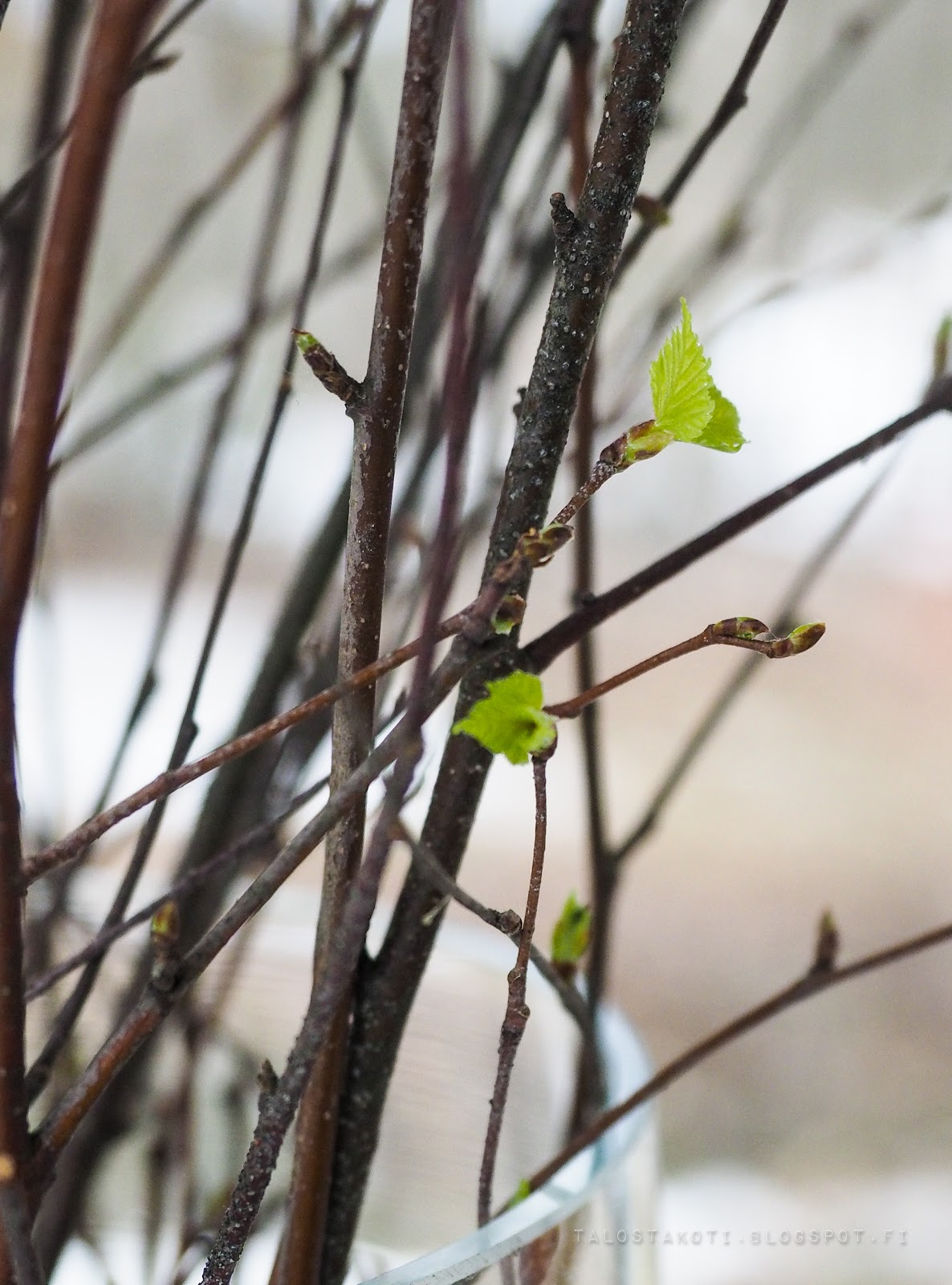 kevät, hiirenkorvat