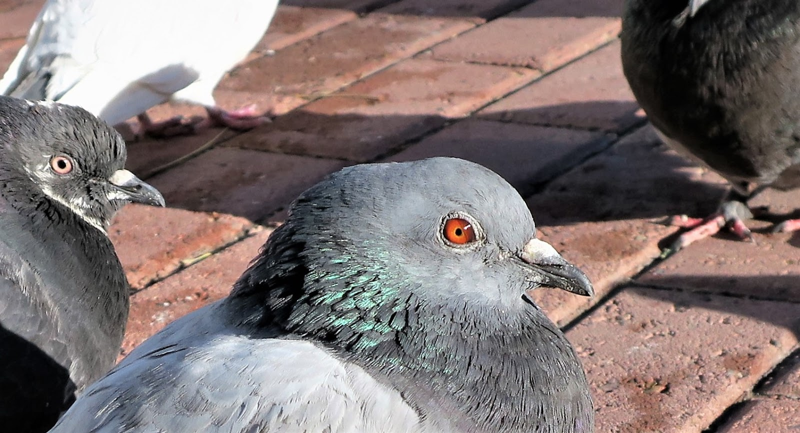 the el paso pigeon Pigeons are a huge nuisance in el paso, tx they were first introduced into the  united states as domesticated birds, but some escaped and formed feral.