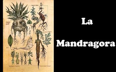 planta Mandrágora