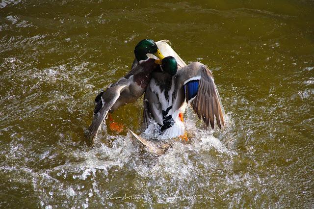 allochtonka kanał kaczka