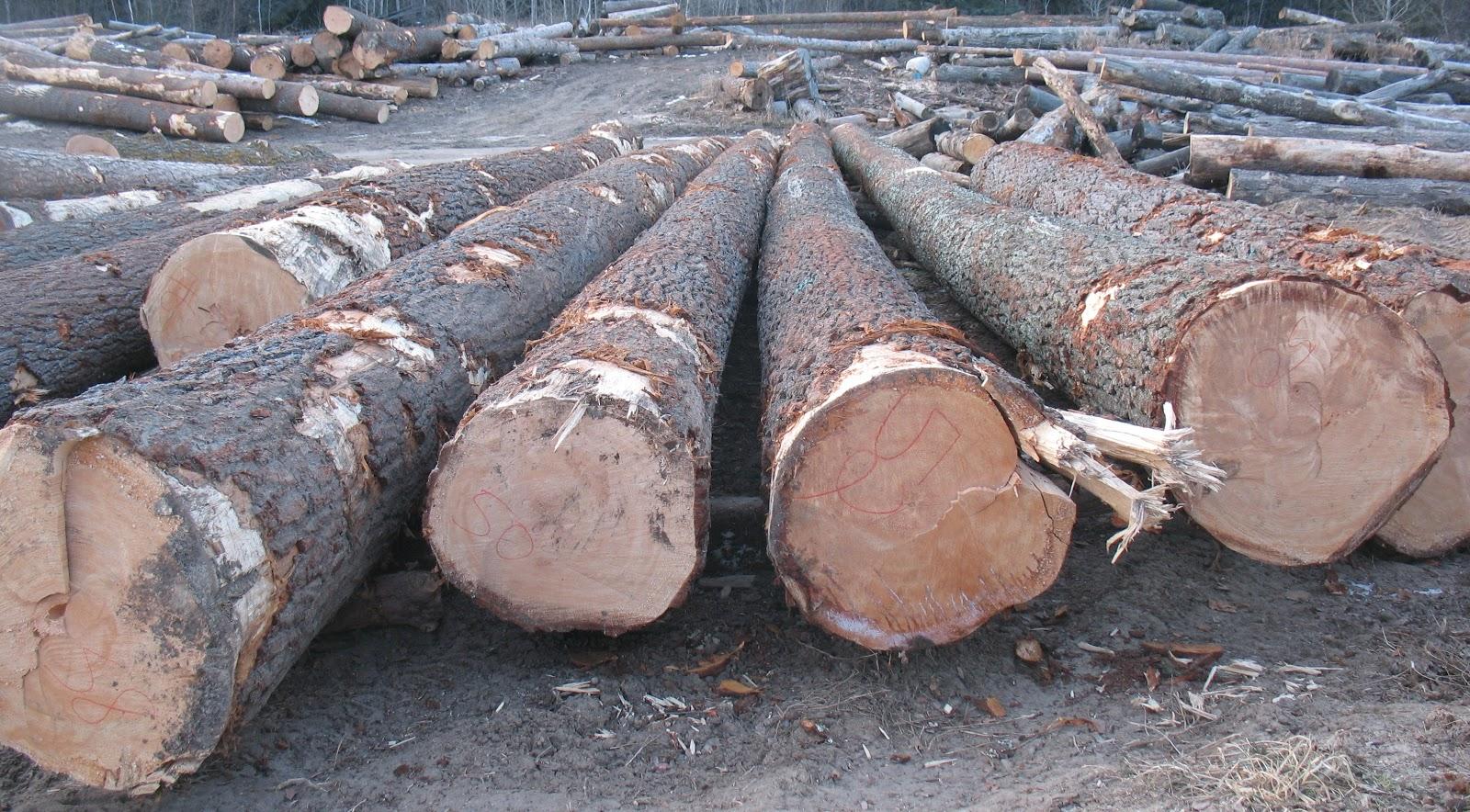 Wille Logging Lumber Amp Timber Enormous White Pine Logs