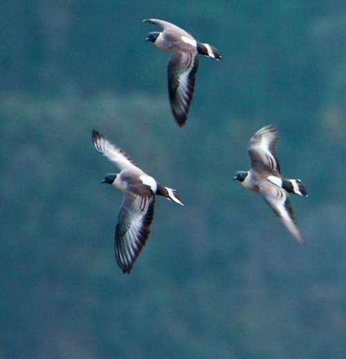 Indian birds - Image of Snow pigeon iin flight - Columba leuconota