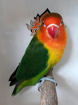 Memahami Struktur Bulu pada Lovebird