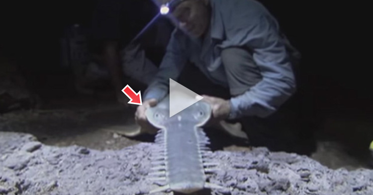 Prehistoric monster, rare Giant Sawfish caught by Biologist