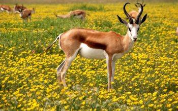 Wallpaper: Antelopes Etosha National Park