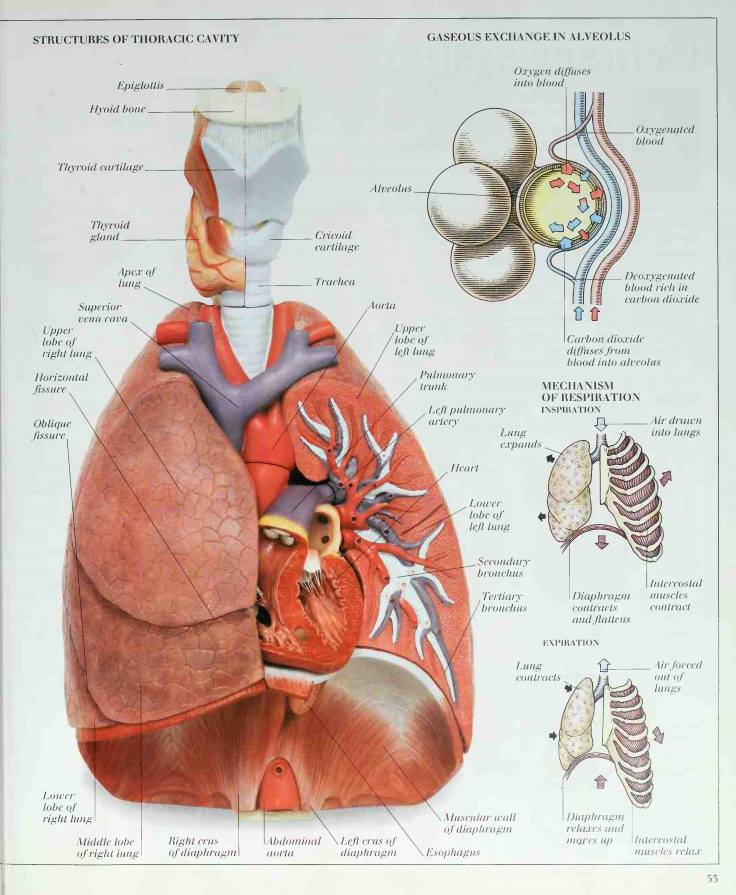 Dictionary Of Anatomy Image Collections Human Body Anatomy