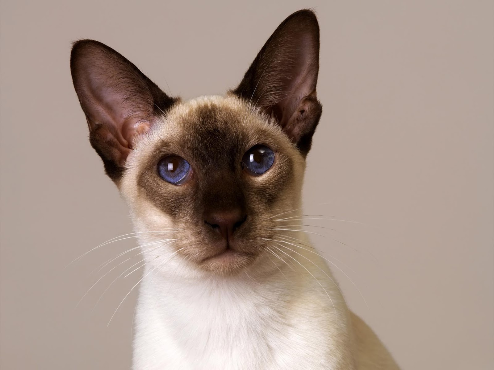 Siamese Cats Pets Cute And Docile