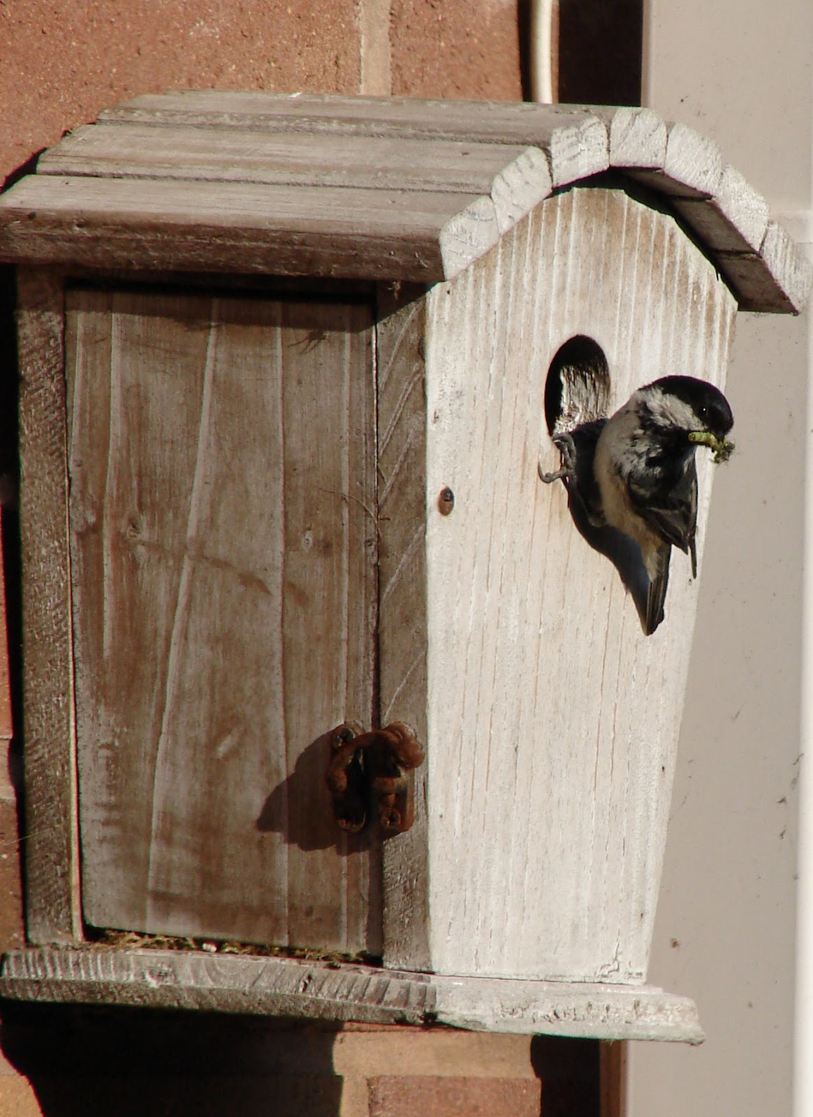 National Nest Box Week February Coal Tits in bird box