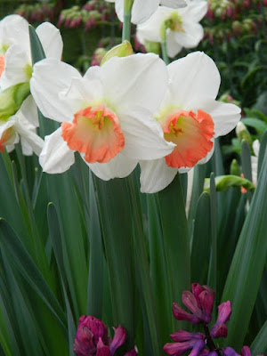 Pink Charm daffodils narcissus at Centennial Park Conservatory Spring Flower Show 2017 by garden muses-not another Toronto gardening blog